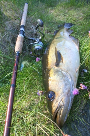 Schöner Fisch in schöner Natur - Pollackangeln in Hagland.
