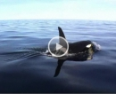 Orcas vor Hitra
