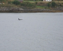 Orcas bei Sandessjoen.JPG